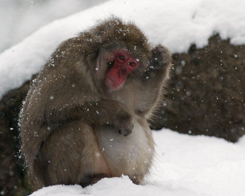 Japanese Macaque IMGP0946a.jpg