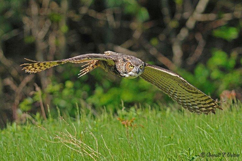 Great Horned Owl 8 ( captive )