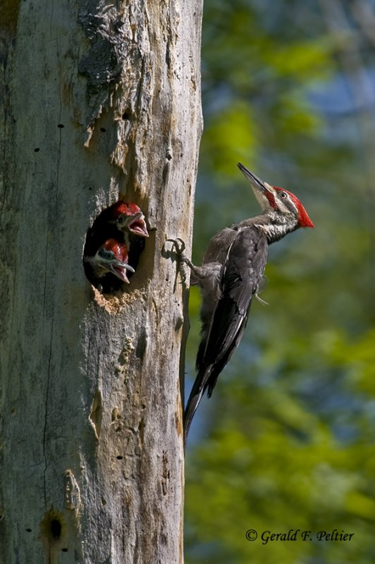Pileated Woodpecker   4
