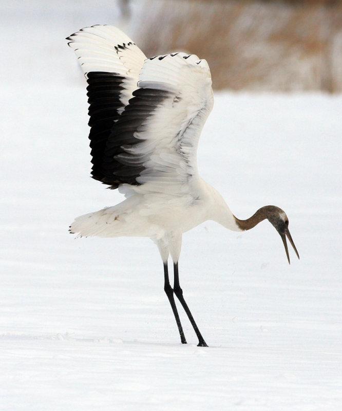 A dancing juvenile crane
