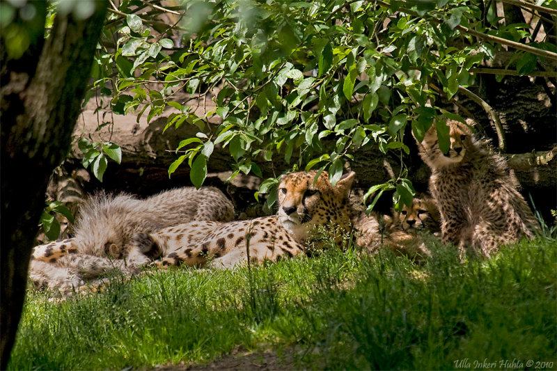 Cheetahs, Luanga and her 8 cubs