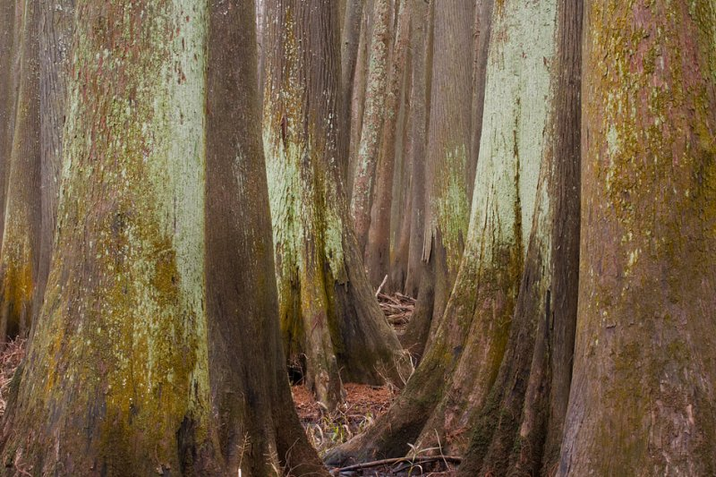 Cypress Alley (Bayou Pierre)