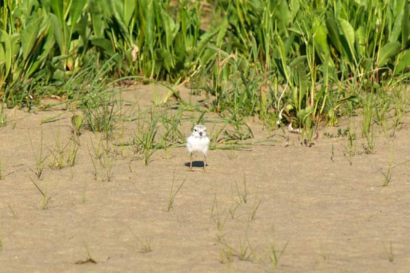 Piping Plover chick 6-15-10