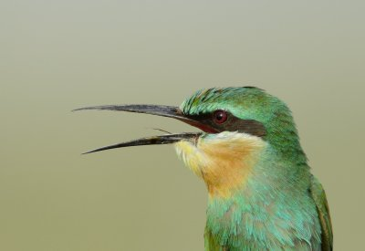 2. Blue-cheeked Bee-eater - Merops persicus