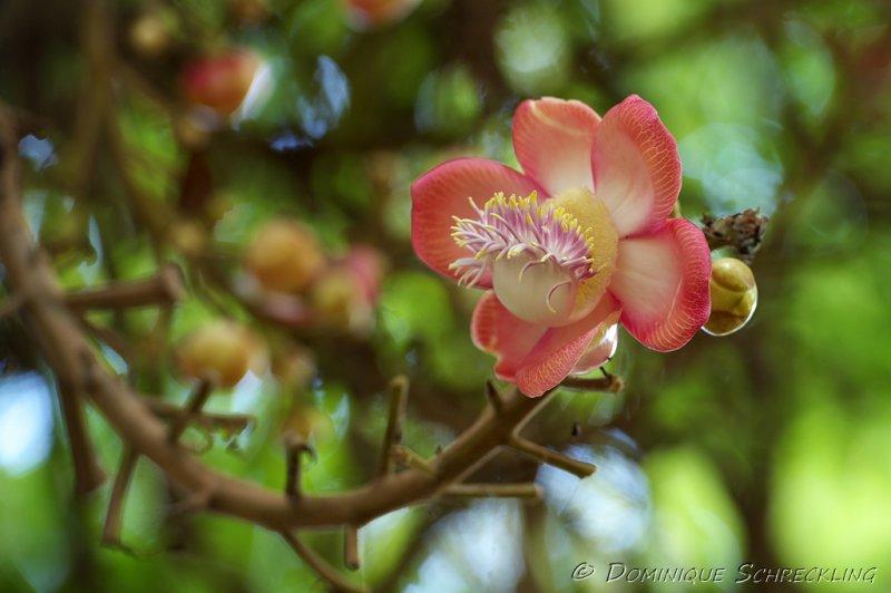 Flower of Canonball Tree