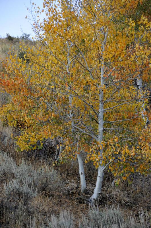 Autumn Scene with Aspen and Sagebrush _DSC9912.jpg