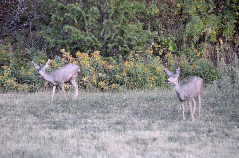 Mule Deer _DSC9839.jpg