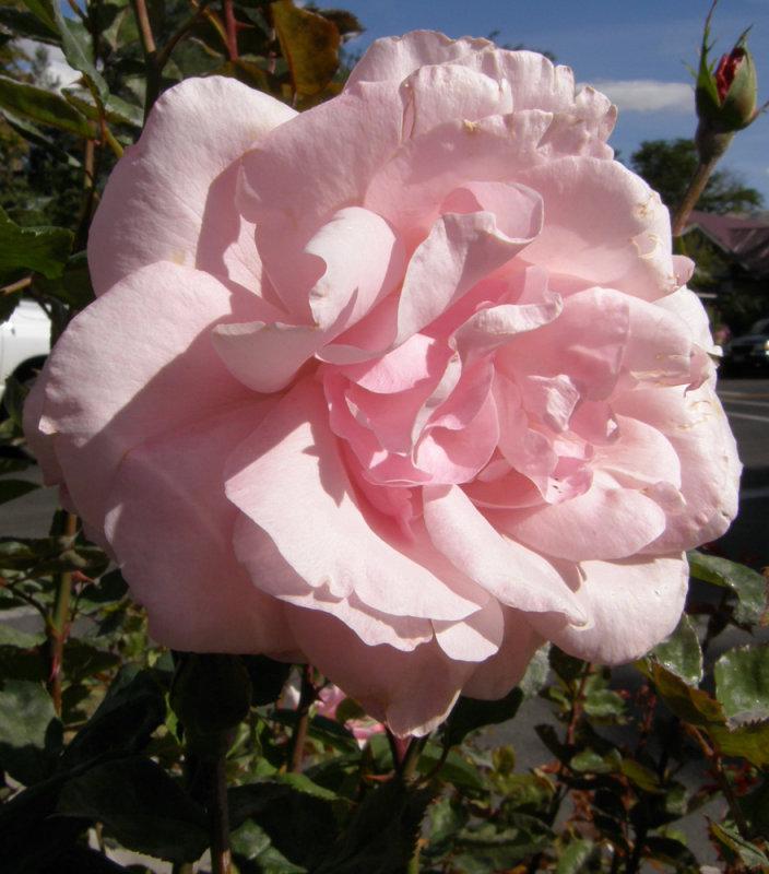 Benton Street Rose PA070002.jpg