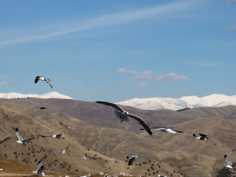 Dump with seagulls and mountains IMG_0526.jpg