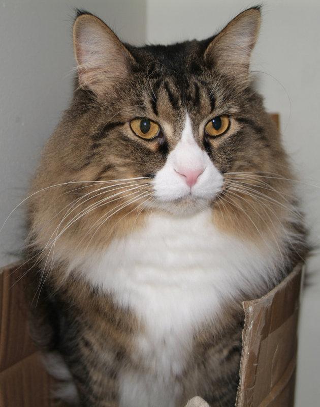 Máximos - el rey de los gatos DSCF0169.jpg