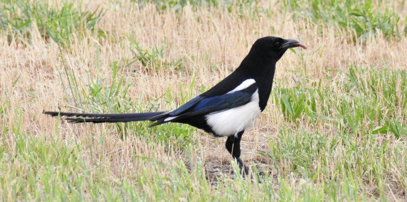 magpie with worm _DSC8582.jpg