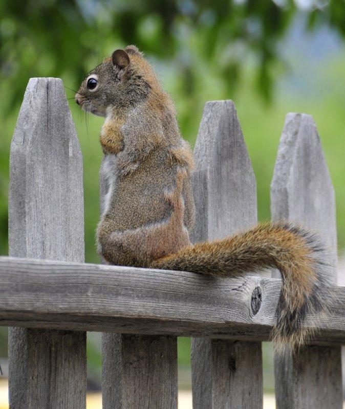 Red squirrel in virginia city _DSC9266.JPG