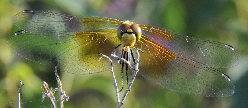 dragonfly at skippers pocatello _DSC2343.jpg