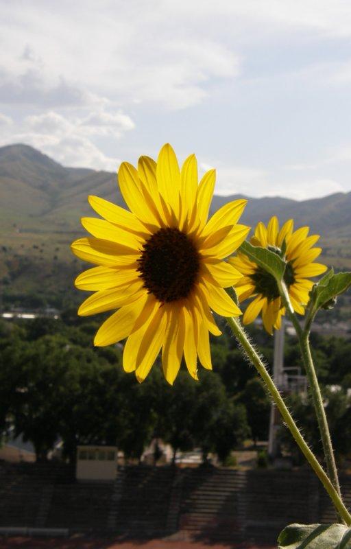 Red Hill Sunflowers P8040138.jpg