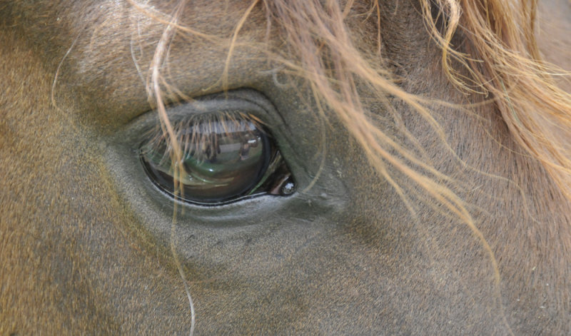 horses eye with reflection _DSC2572.jpg