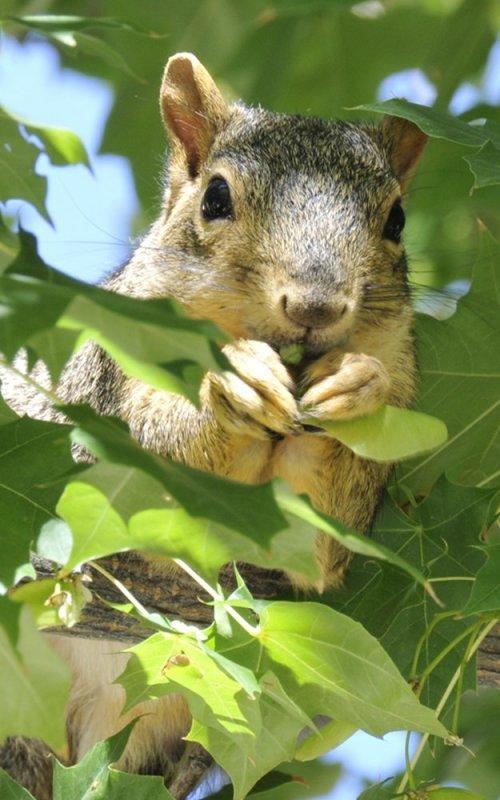 An Idaho State University College of Engineering fox squirrel (ISUCoEfs) _DSC3393.JPG