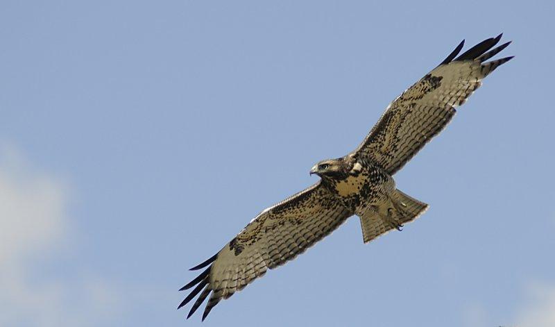 hawk in flight at home cropped smallfile _DSC1240.jpg