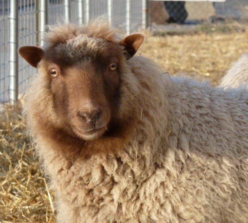 Sheep at McKees Pocatello P1040284.jpg