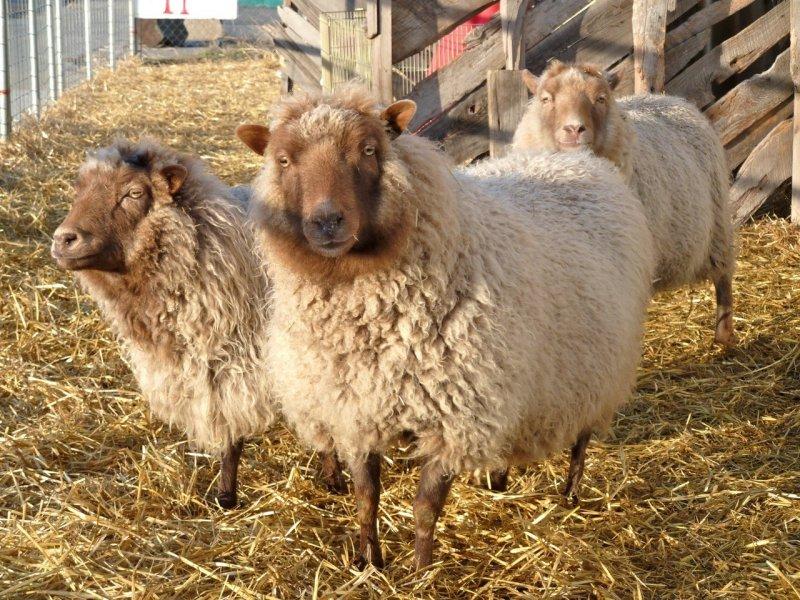 Sheep at McKees Pocatello P1040276.jpg