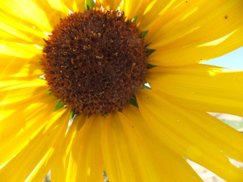 sunflower DSCF5892.jpg