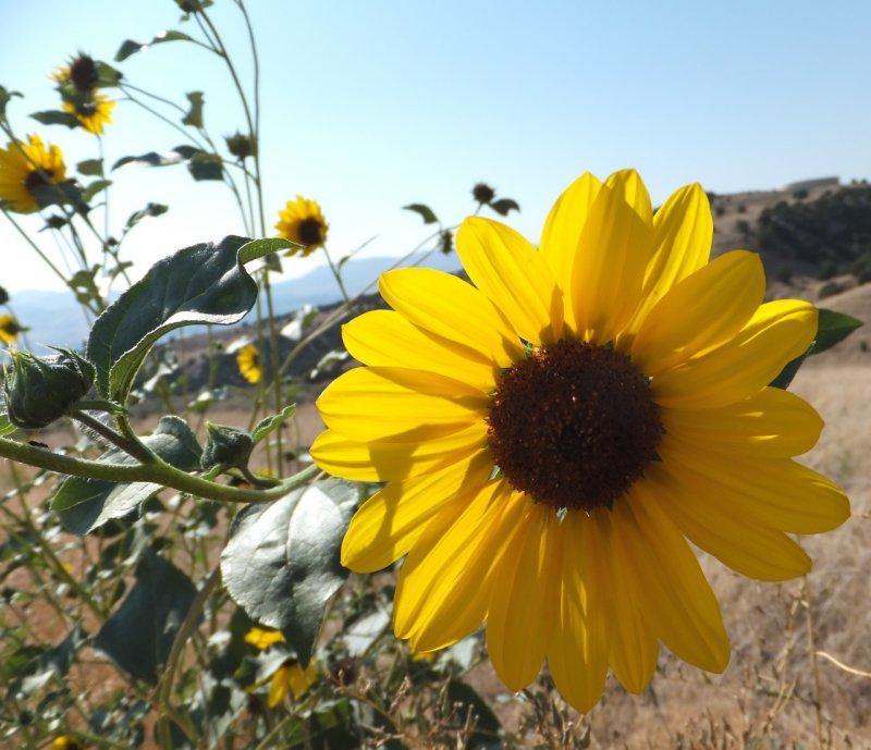 sunflowers DSCF5912.jpg