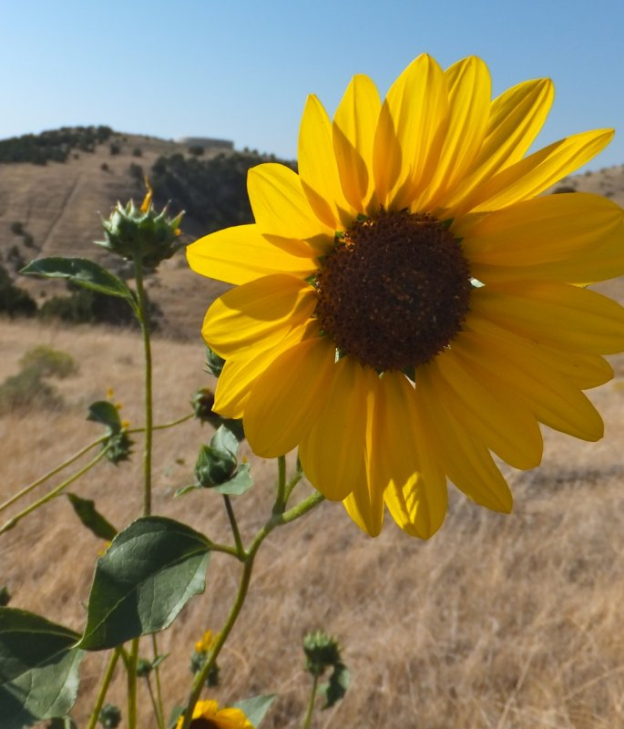 sunflowers DSCF5918.jpg