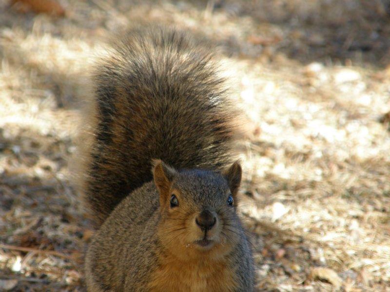 ISU College of Engineering Fox Squirrel P2190046.jpg