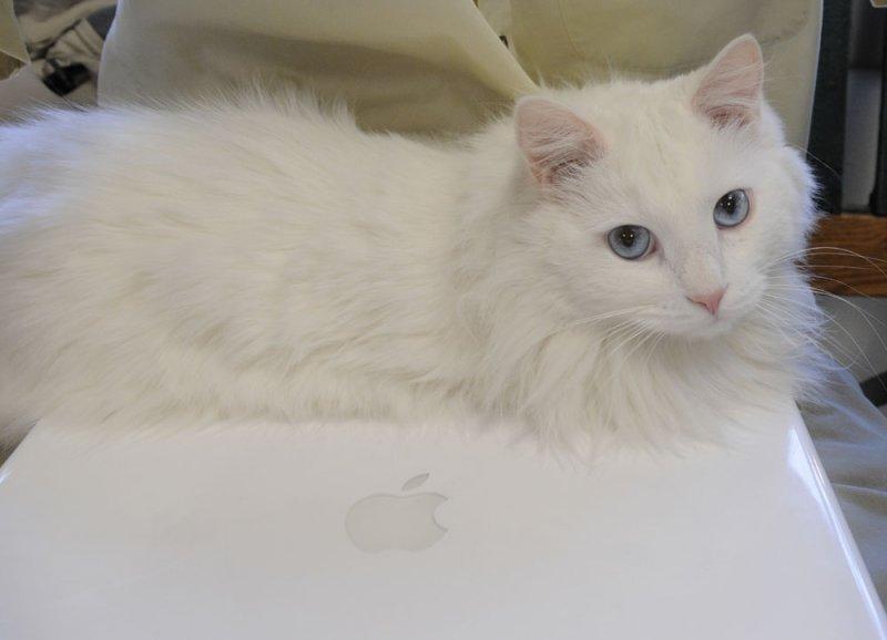 Boo the Alameda Vet Hospital Laptop Cat _DSC3076.jpg