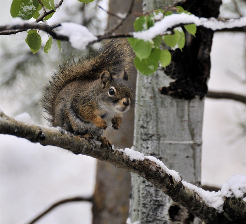 red squirrel with late may snow _DSC3709.jpg