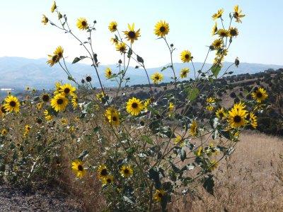 sunflowers DSCF5859.jpg