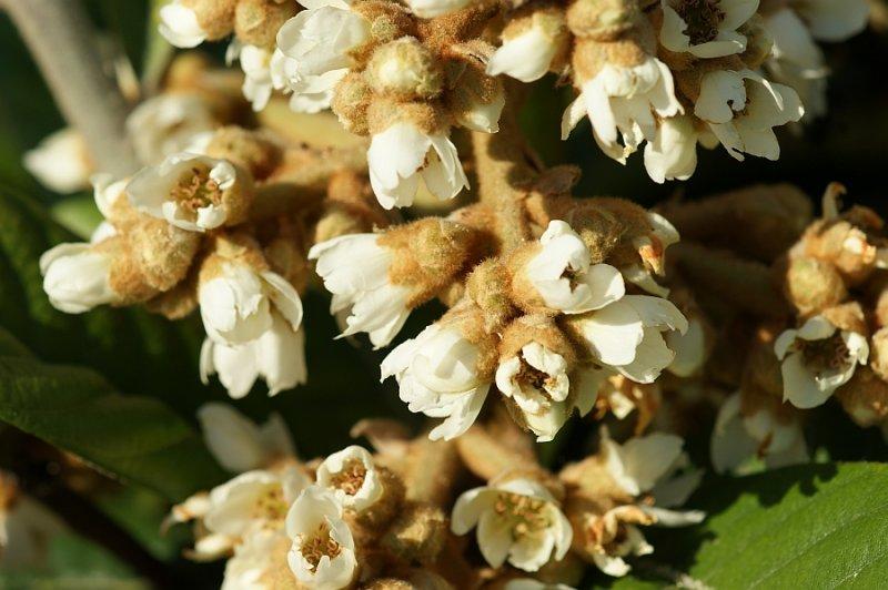 Nespereira: flores // Loquat: flowers (Eriobotrya japonica)
