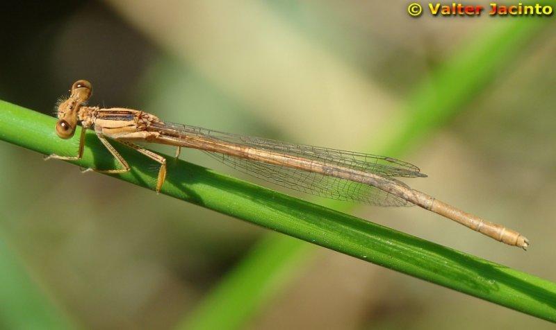 Libelinha // White Featherleg (Platycnemis latipes), female