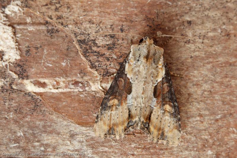 09775 Moeras-grasuil - Double Lobed - Apamea ophiogramma