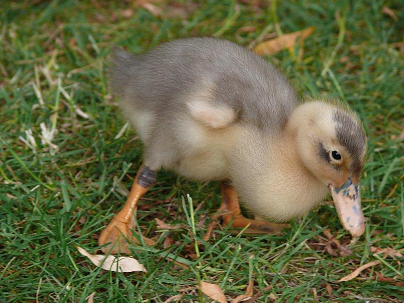 Village green duckling