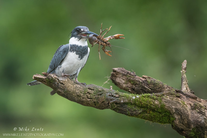 Belted Kingfisher with Crayfish