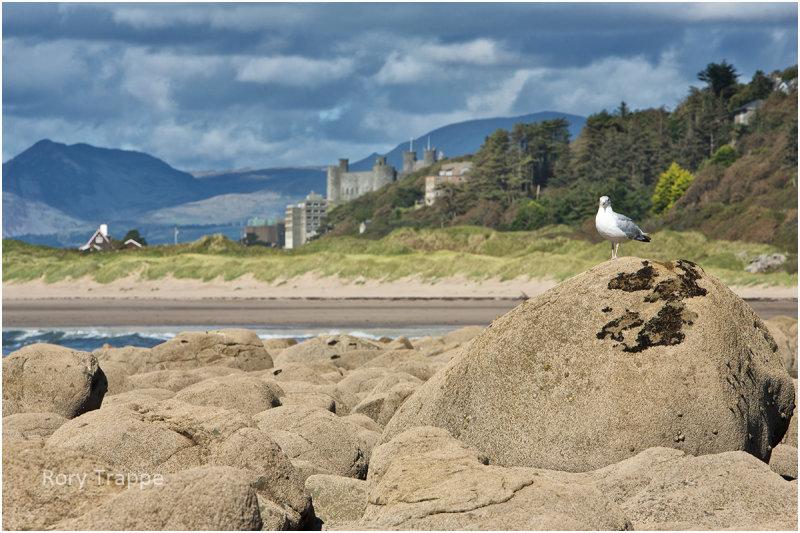 seagull at llandanwg.jpg