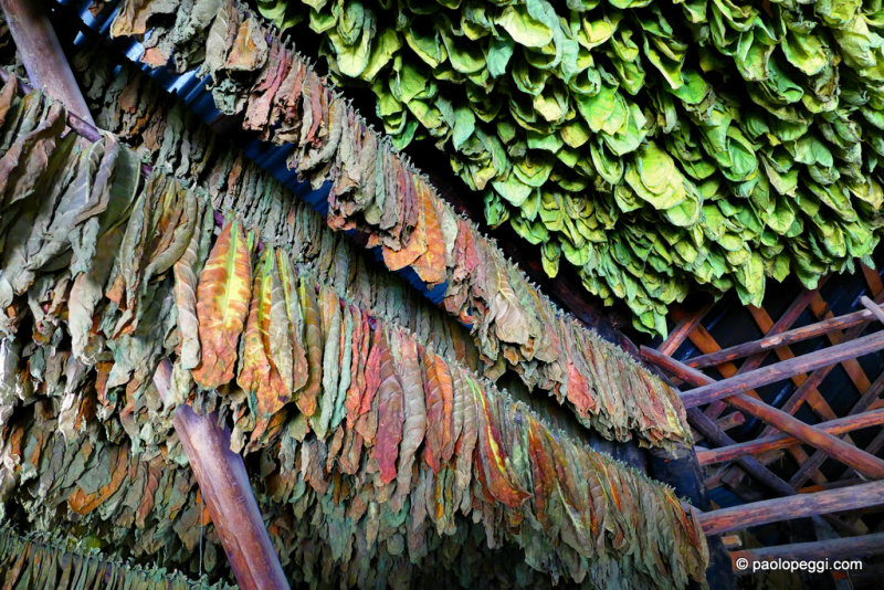 Drying tobacco leaves in a shed in Vinales, Cuba