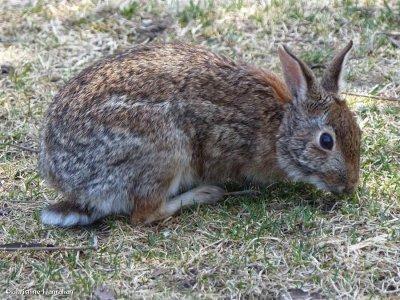 Eastern cottontail rabbit  (Sylvilagus floridanus)