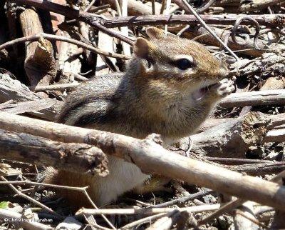 Chipmunk  (Tamias striatus)
