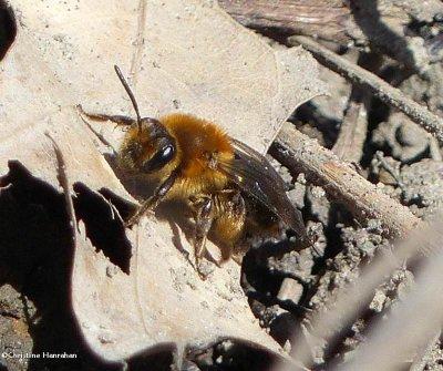 Andrenid bee (Andrena dunningi)