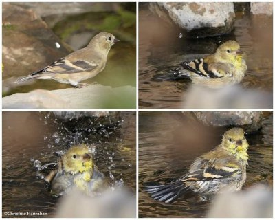 American goldfinch bathing