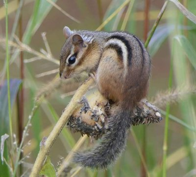 chipmunk enjoying his sunflower perch