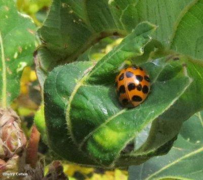 Asian ladybeetle  (Harmonia axyridis)