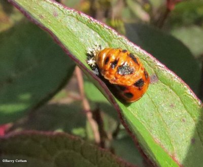 Asian ladybeetle pupa (Harmonia axyridis)