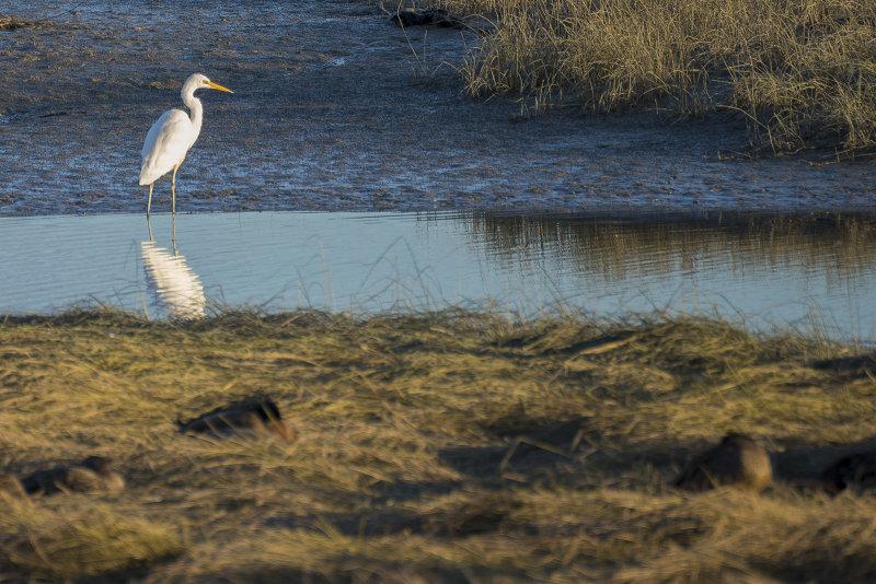 White Heron - Kotuku - at Foxton Estuary