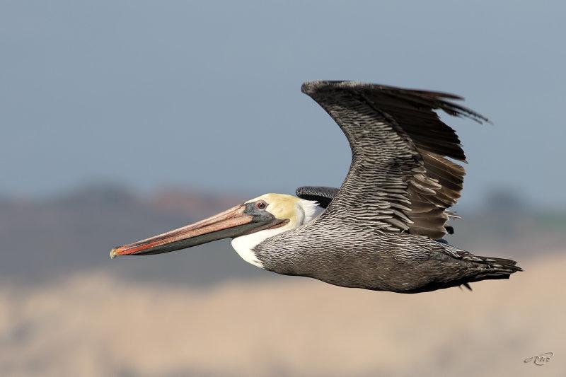 Pélican brun<br/>Brown Pelican