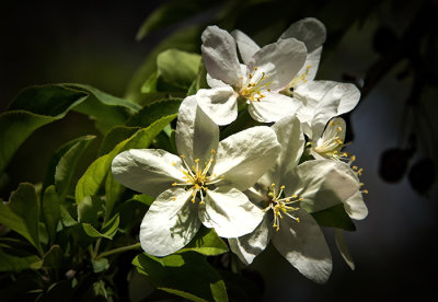 The Ubiquitous Apple Blossom