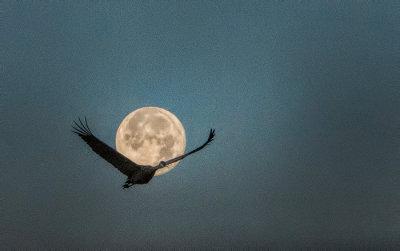 Moonlit Morning Flight