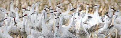 Gathering Cranes
