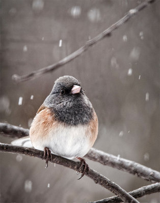 Dark Eyed Junco in a Snowfall